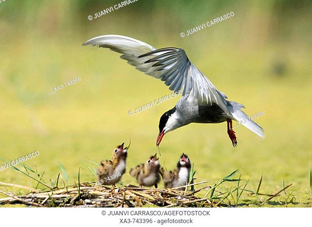 Whiskered tern , Chlidonias hybrida , feeding three chicks at nest