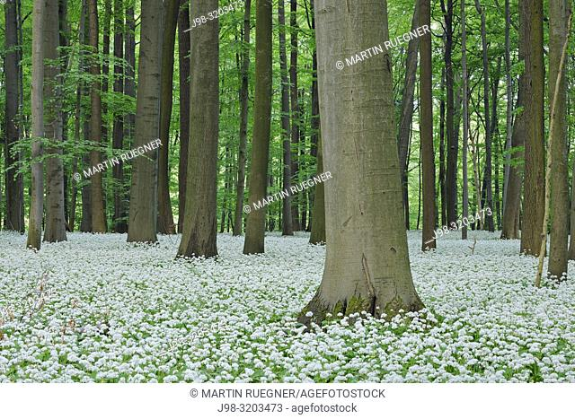 Ramsons (Allium ursinum) in beech (fagus sylvatica) forest, spring with lush green foliage. Hainich National Park, Thuringia, Germany