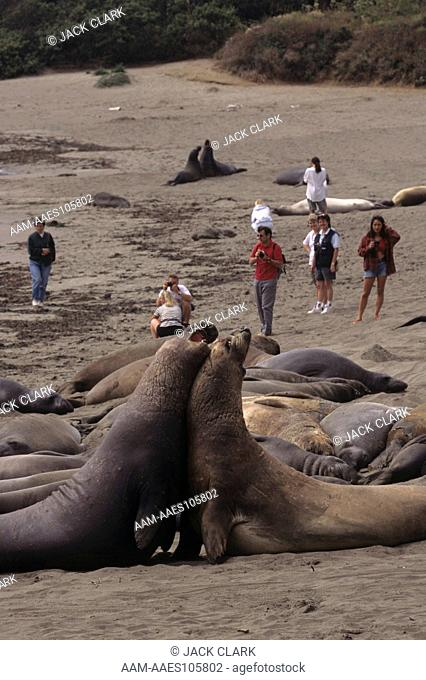 Tourists with two young sparring male No. Elephant Seals (M. angustirostris) CA