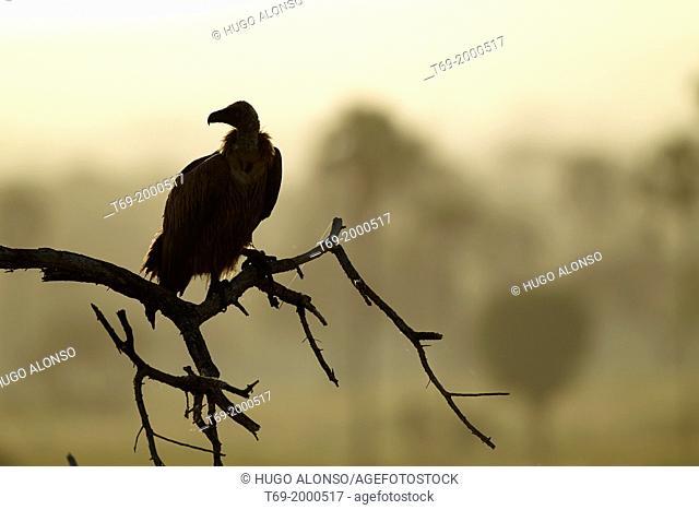 Rüppell's Vulture or Rüppell's Griffon Vulture Gyps rueppellii. Tarangire. Tanzania