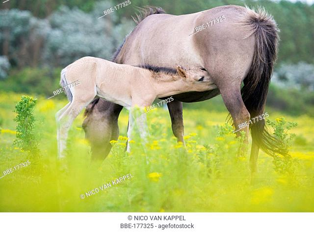 koniki horse foal drinking