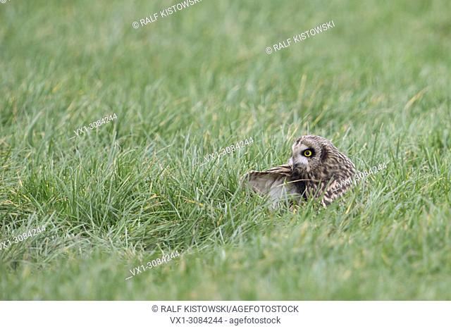 Short-eared Owl ( Asio flammeus ) rest, resting in grass over day, cleaning its feathers, wildlife, Europe
