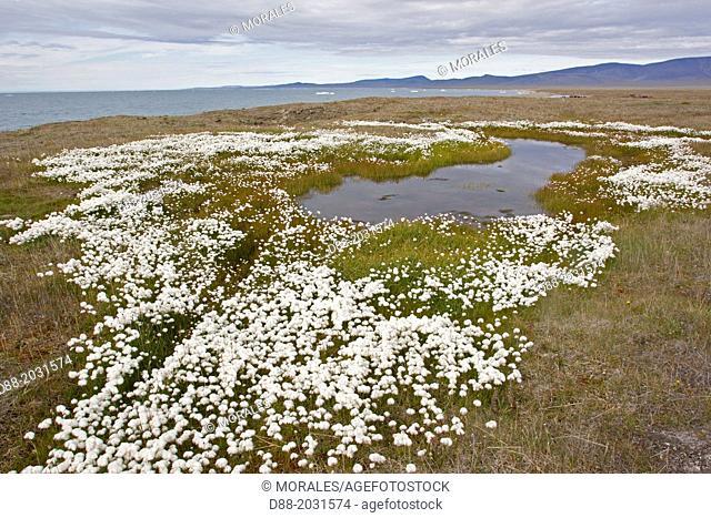 Russia , Chukotka autonomous district , Wrangel island , Doubtful village , Arctic Cottongrass ( Eriophorum scheuchzeri )