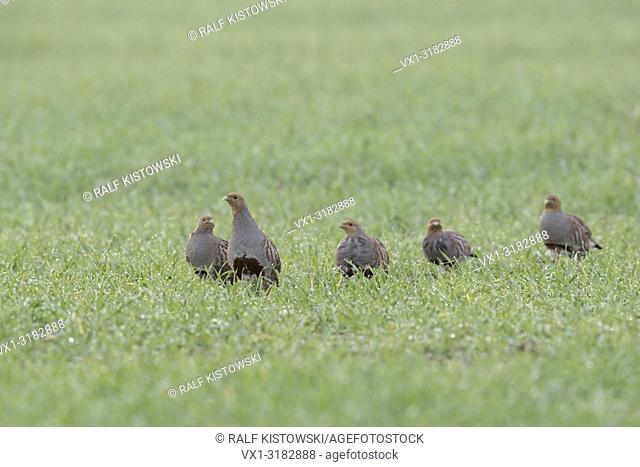 Flock of Grey Partridges ( Perdix perdix ) walking over a green field of winter wheat, early in the morning