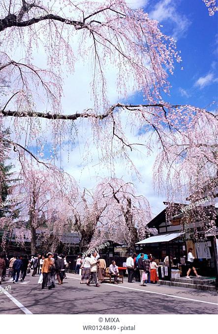 Cherry blossoms, Akita Prefecture, Japan