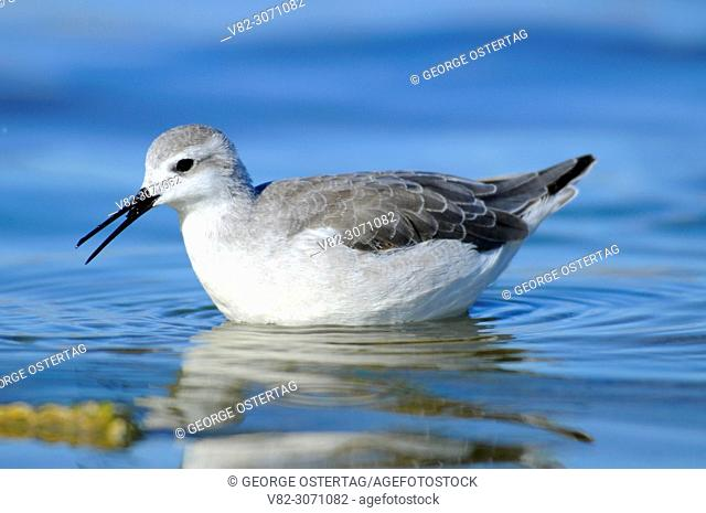 Phalarope at Lake Abert, Lakeview District Bureau of Land Management, Oregon