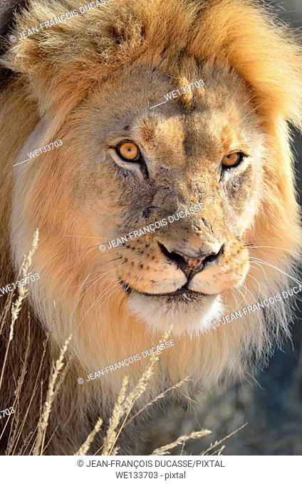 Lion (Panthera leo), adult male in dry grass, Kgalagadi Transfrontier Park, Northern Cape, South Africa, Africa