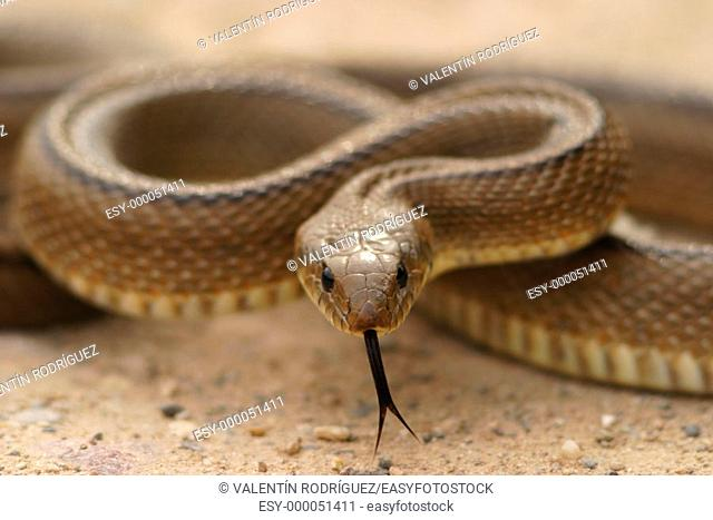 Ladder Snake (Elaphe scalaris) in Alto Palancia region. Castellón. Spain