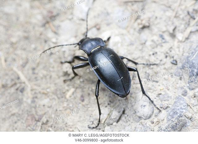 Violet Ground Beetle, Carabus violaceus. Ground beetle which has violet or indigo edges on the smooth elytra or wing cases and thorax. 20-30mm long