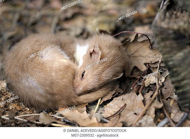 Sleepy Mustela nivalis, european weasel in Iberian range mountains,  Spain, Europe