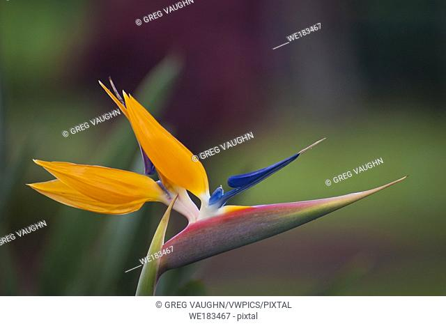 Bird of Paradise blossom (Strelitzia reginae); Hawaii