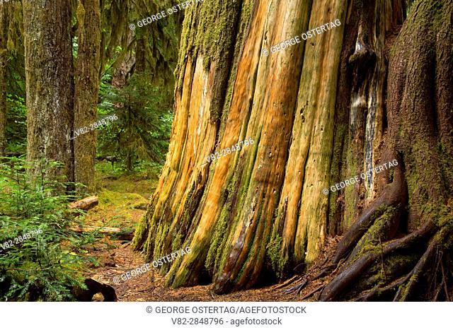 Cedar Flats trunk along Opal Creek Trail, Opal Creek Scenic Recreation Area, Willamette National Forest, Oregon