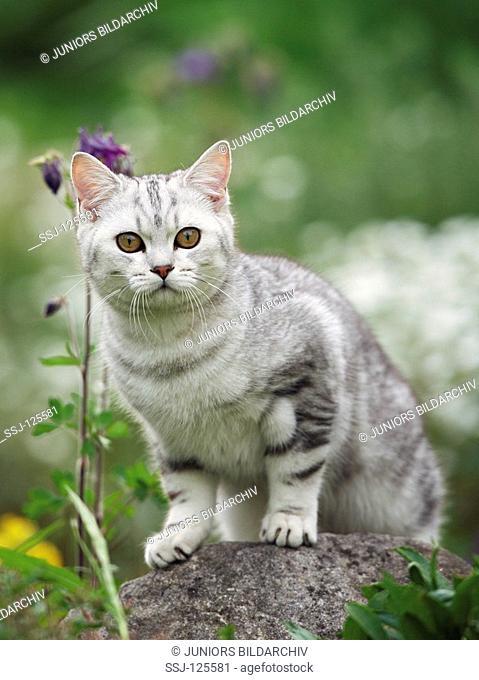 British Shorthair cat - standing