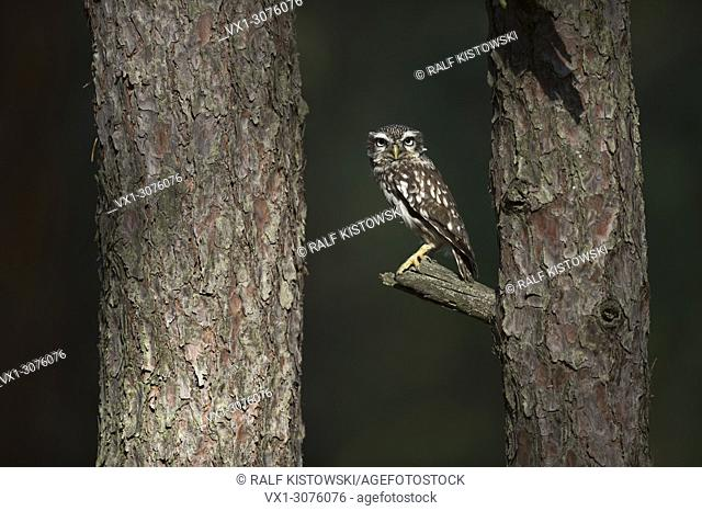 Little Owl / Minervas Owl ( Athene noctua ) perched on a branch between two trees, looks serious, wildlife, Europe. .