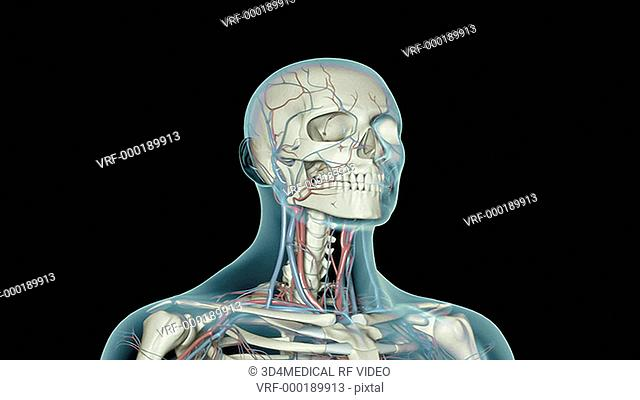 An animation of the blood vessels of the neck. The camera zooms in to show the blood vessels of neck relative to skeleton and surface anatomy of the body