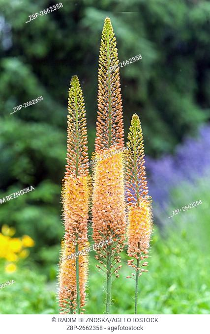 Eremurus isabellinus Cleopatra Foxtail Lily, Desert candle, decorative plant