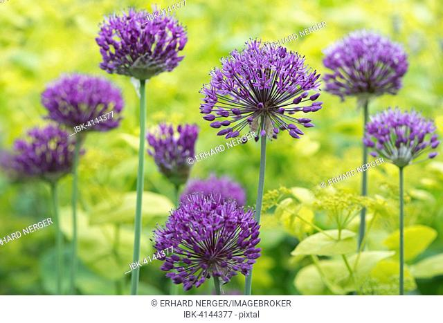 Onion flowers (Allium 'Purple Splendour') and Horse Parsley (Smyrnium perfoliatum), Emsland, Lower Saxony, Germany