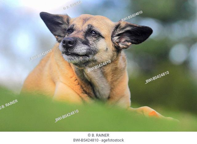 mixed breed dog (Canis lupus f. familiaris), nine years old Malinois mixed breed she-dog lying in a meadow with a carrot, Germany