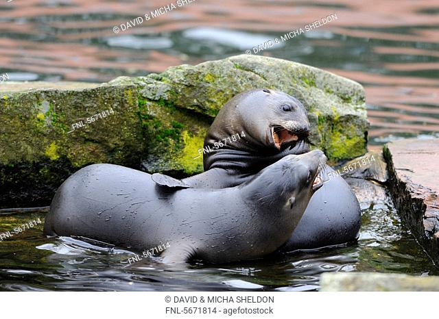 Two young California sea lions Zalophus californianus
