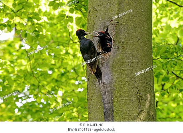 black woodpecker (Dryocopus martius), adult feeds the squeakers in the breeding cave, Germany