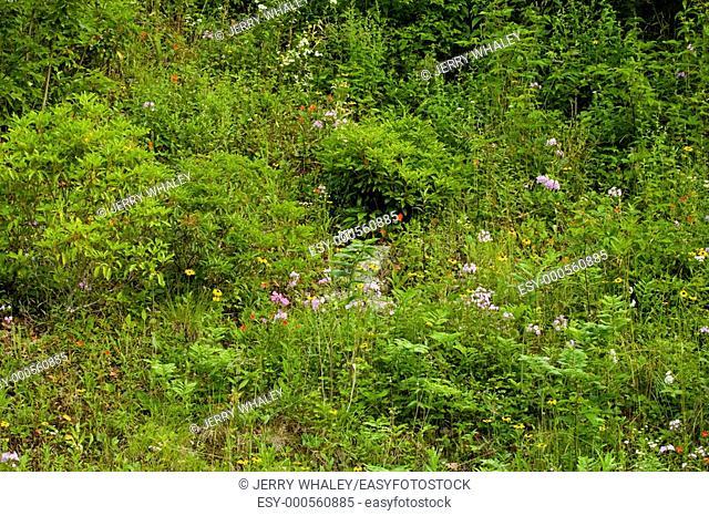 Wildflowers, Blue Ridge Parkway, Late Summer, NC