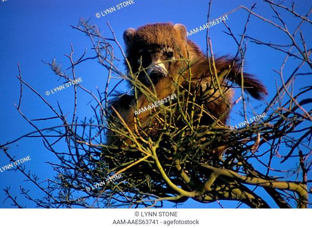 Coati-mundi (Nasua narica)