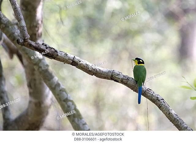 Asia, India, Uttarakhand, Jim Corbett National Park, . Long-tailed broadbill (Psarisomus dalhousiae)