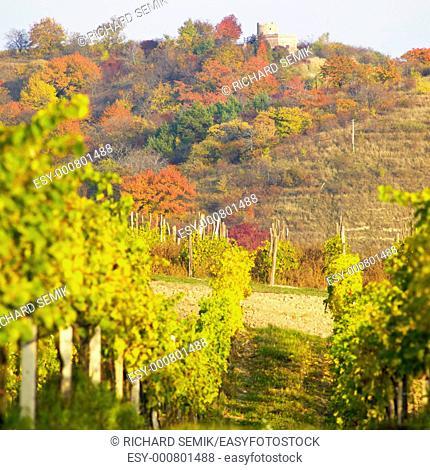 vineyard Jecmeniste, Lampelberg castle, Czech Republic