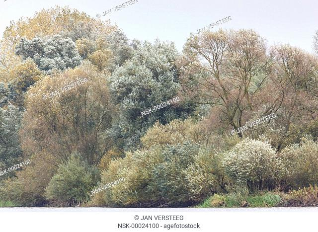 Alluvial forest in autumn with Willow (Salix sp.) and other unidentified trees, The Netherlands, Gelderland, Millingerwaard
