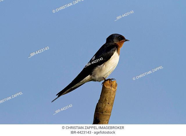 Barn swallow (Hirundo rustica) on tree branch against blue sky, Bueng Boraphet, Nakhon Sawan, Thailand