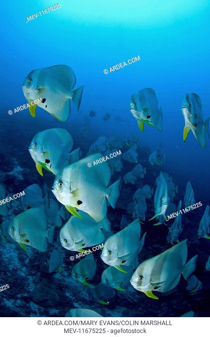 Longfin Batfish large school