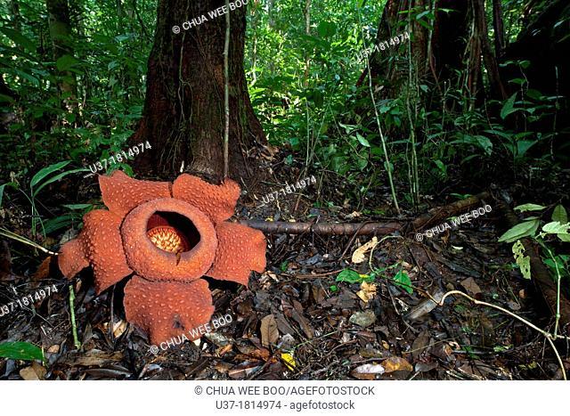 World largest wild flower Rafflesia taken at Gunung Gading National Parks, Lundu, Sarawak, Malaysia