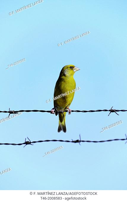 The European greenfinch Carduelis chloris s a small passerine songbird in the finch family Fringillidae. It is a common species in the Iberian Peninsula