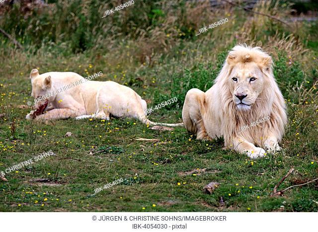 Lions (Panthera leo), adult pair, white lions, colour mutation, female feeding, native to Africa, captive, England, United Kingdom