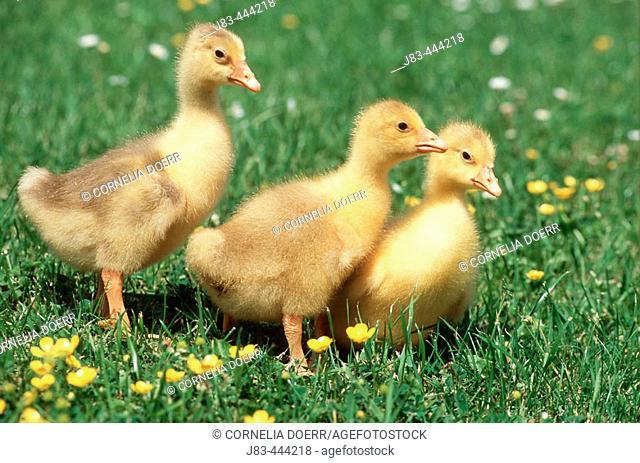 Domestic Goose, Gosling