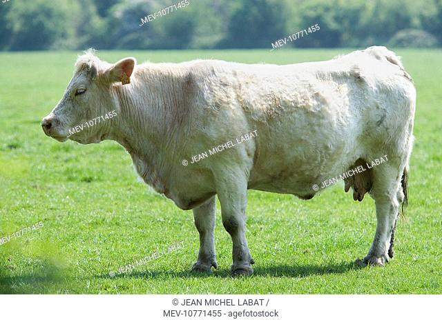 Cattle - Charolais Cow in field