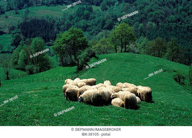Sheep in Navarra Spain