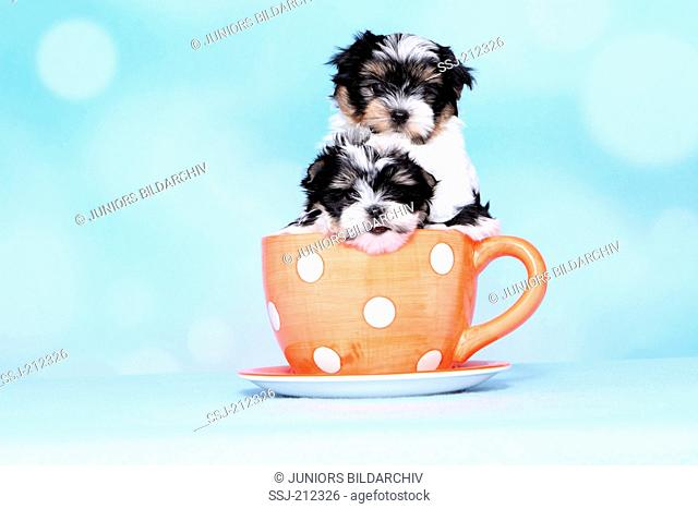 Biewer Terrier. Two puppies (8 weeks old) in a big coffee cup. Studio picture against a blue background. Germany