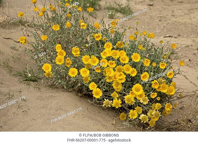Desert Marigold (Baileya multiradiata) flowering, Big Bend N.P., Chihuahuan Desert, Texas, U.S.A., February