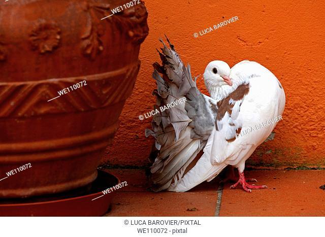 Dove with orange background