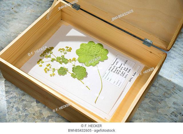 lady's mantle (Alchemilla mollis), ready herbarium sheet in a box, Germany