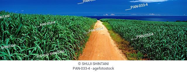 Sugar Cane Fields, Kumejima Island, Okinawa, Japan