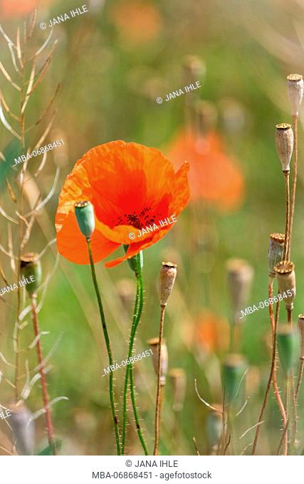 Close-up, red poppy flower and poppy seed capsules in a field, blurred background