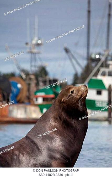 USA, Oregon, Charleston, California Sea Lion Zalophus californianus on shore, fishing boats in background