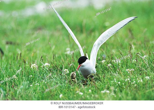 Arctic Tern (Sterna paradisaea), adult on nest feeding young, Nesseby, Norway, Scandinavia, Europe