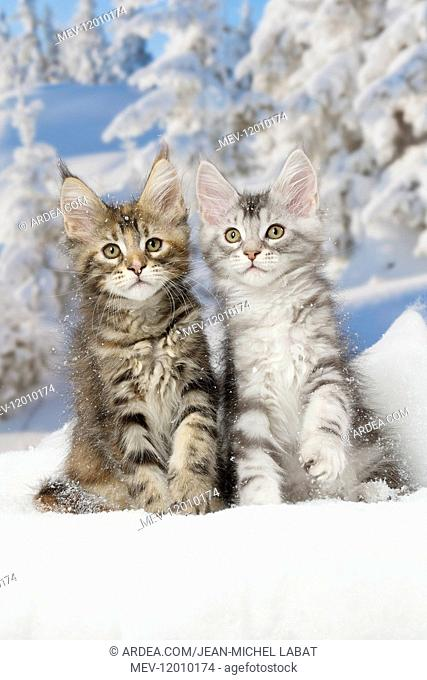 Maine Coon kittens in the snow in winter