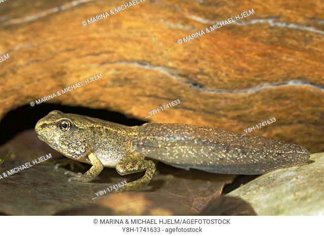 Common Frog, Rana temporaria, Geesthacht, Schleswig-Holstein, Germany