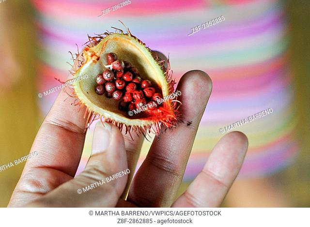 Showing the Annatto that is an orange-red condiment derived from the seeds of the achiote tree (Bixa orellana), for the Tsachila community it represents...