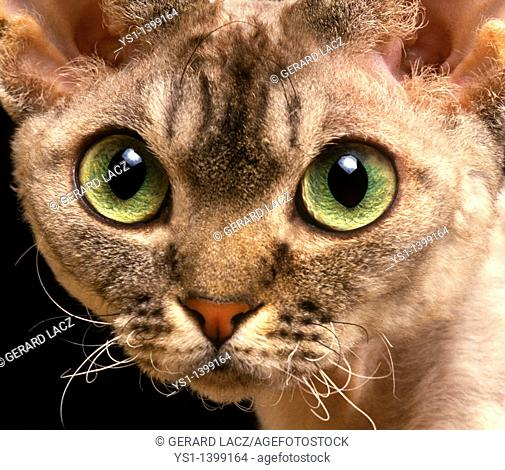 Devon Rex Domestic Cat, Portrait of Adult