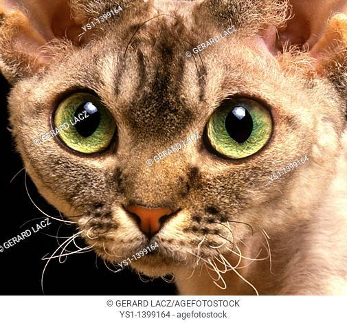 Devon Rex Domestic Cat, Portrait of Adult